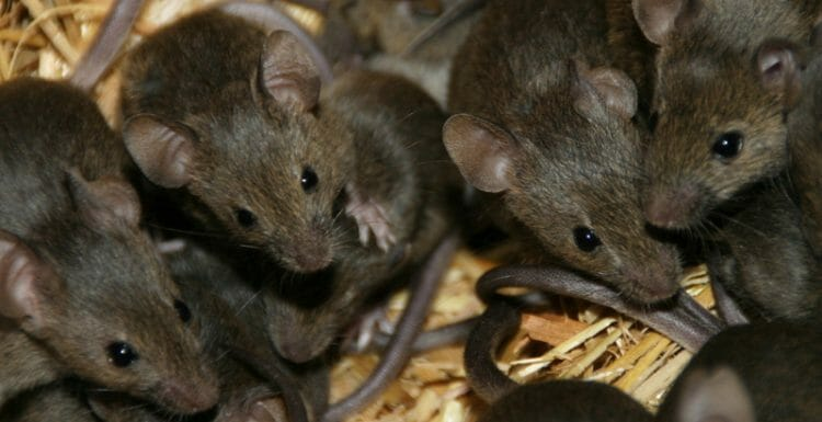 حمى الفئران فى شمال افريقيا