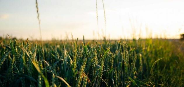 الزراعة في السعودية وأهم المحاصيل الزراعية
