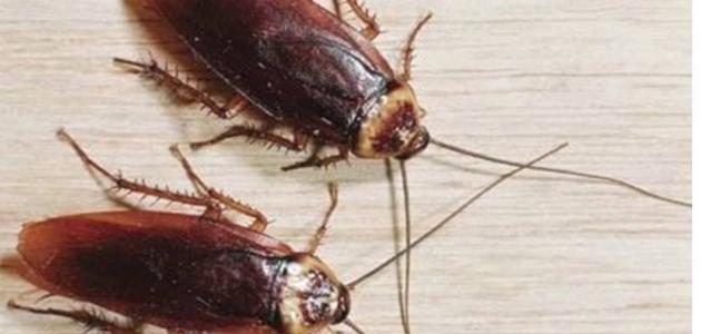 تفسير حلم رؤية الصراصير في المنام