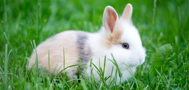 الأرنب و رؤيته في المنام بألوان مختلفة