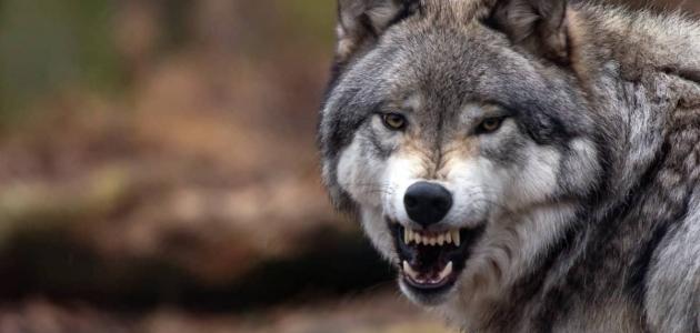 رؤية الذئب في المنام وتفسير هذه الرؤية