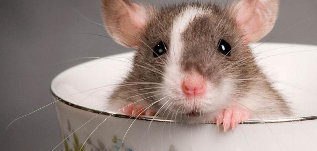 رؤية الفئران في المنام وتفسيرها