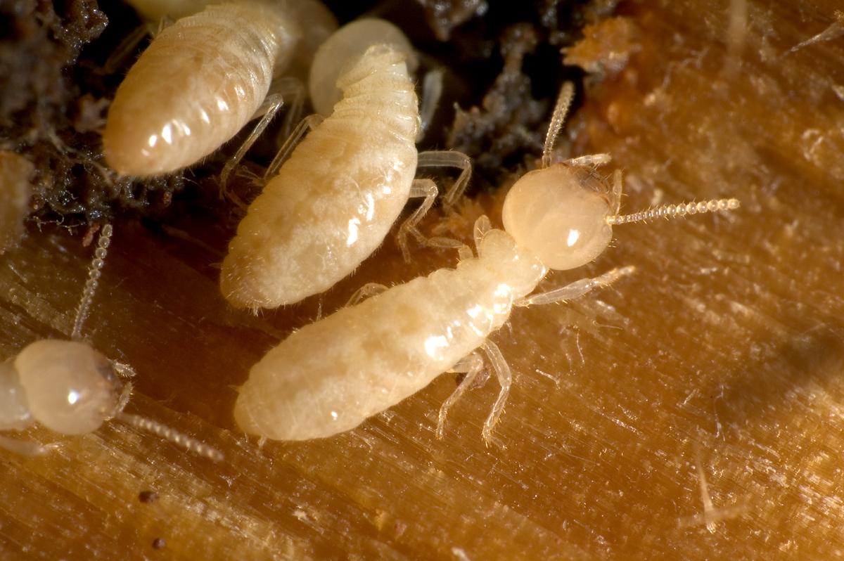 النمل وتفسير رؤيته يمشي على الجدار