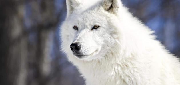 دلالات رؤية الذئب في المنام وتفسيرها