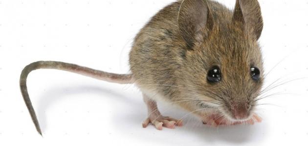 أحذر من الفئران فهي السبب الرئيسي لمرض البريمية